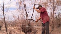 Hàng trăm hecta rừng phòng hộ ở Phú Yên chết do nắng hạn kéo dài