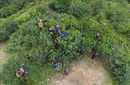 Bảo tồn, nâng cao giá trị cây chè shan tuyết ở Hoàng Su Phì