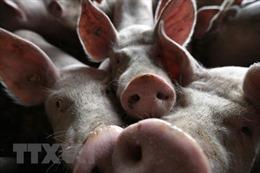 Dịch tả lợn châu Phi lan đến miền Đông Nhật Bản