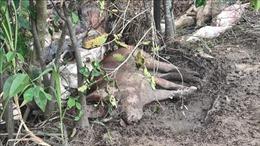 Xử lý dứt điểm tình trạng vứt xác lợn ra môi trường