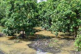 Trà Vinh: Triều cường gây sạt lở đê bao, thiệt hại nhiều vườn cây ăn trái