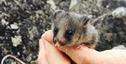 Nỗ lực giải cứu loài chuột túi tí hon đang nguy cấp ở Australia