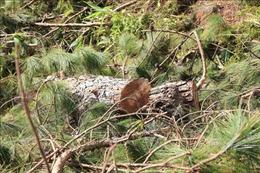 Bắt quả tang nhóm đối tượng phá rừng tại Đà Lạt