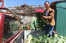 Thành triệu phú nhờ trồng hoa hồng công nghệ cao dưới chân núi Langbiang