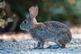 WHO: Loài thỏ và chồn có thể là động vật lây lan virus SARS-CoV-2 sang người