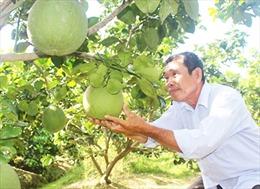 Làm giàu từ trồng bưởi da xanh theo tiêu chuẩn VietGAP