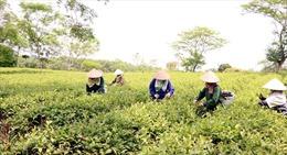 Triển khai kết luận của Bộ Chính trị về tiếp tục sắp xếp, đổi mới công ty nông, lâm nghiệp