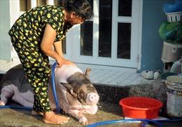 'Nàng' lợn nặng 150 kg được nuôi làm... thú cưng trong gia đình