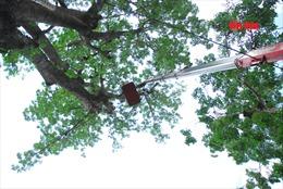 Phát hiện nhiều trường học có cây xanh tiềm ẩn nguy cơ gãy cành nhánh, ngã đổ