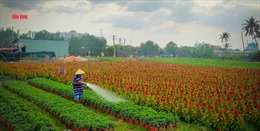 Làng hoa TP Hồ Chí Minh tất bật với vụ hoa Tết Canh Tý 2020