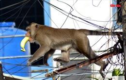 Đàn khỉ hoang 'đại náo' khu dân cư