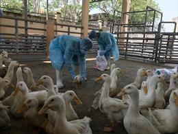 Ngăn chặn kịp thời 900 con vịt bị nhiễm vi rút cúm gia cầm H5N6 chuẩn bị vào lò mổ