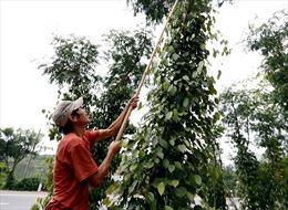 Giá hồ tiêu giảm, nông dân trồng tiêu ở Lâm Đồng thất thu