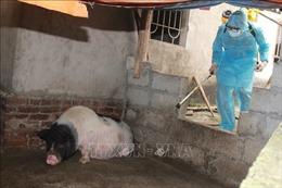 Kiểm soát chặt hoạt động giết mổ và vận chuyển sản phẩm từ lợn