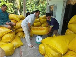 Giá lúa tăng từ 200- 300 đồng/kg