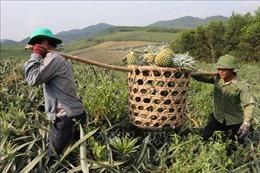 Dứa rớt giá thê thảm, nông dân Nghệ An lao đao