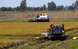 'Xé rào' làm vụ 3, nhiều diện tích lúa giảm trên 70% năng suất