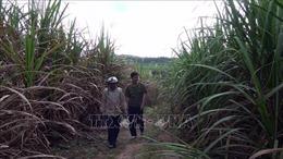 Tìm lại 'vị ngọt' cho đường ở các tỉnh Nam Trung bộ - Bài cuối: Để vực dậy ngành mía đường