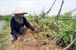 Dông lốc hoành hành tại 'thủ phủ' cà chua của Nam Định