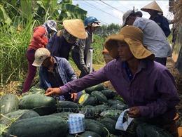 Tem dán trên dưa hấu Quảng Nam là tem truy xuất nguồn gốc
