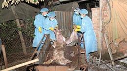 Đà Nẵng họp khẩn ngăn chặn dịch tả lợn châu Philây lan