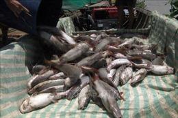 Hà Tĩnh: Gần 85 tấn cá nuôi lồng bè chết trắng chưa rõ nguyên nhân