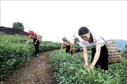 Nguy cơ mất thương hiệu vùng chè chất lượng cao ở Lai Châu