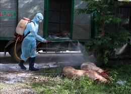 Lâm Đồng ngăn chặn dịch tả lợn châu Phi