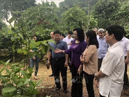 Hà Nội tận dụng thế mạnh gò đồi phát triển cây dược liệu