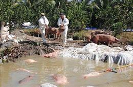 Dịch tả lợn châu Phi tiếp tục diễn biến phức tạp