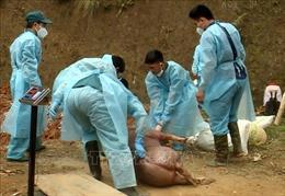 Thanh Hóa không chủ quan trước diễn biến dịch tả lợn châu Phi