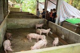 Yên Bái siết chặt phòng chống dịch tả lợn châu Phi