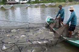 Hơn 1,8 tỷ con cá tra giống chất lượng cao phục vụ chế biến và xuất khẩu