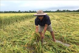 Nhiều diện tích lúa ở Đồng bằng sông Cửu Long bị đổ ngã do mưa lớn