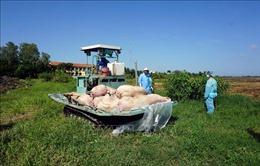 Khuyến cáo không tái đàn trong thời điểm có dịch tả lợn châu Phi