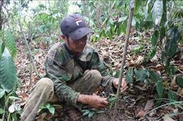 Phát triển mô hình trồng cây dược liệu dưới tán rừng