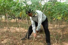 Hơn 300 ha sắn bị nhiễm bệnh khảm lá ở Bình Phước