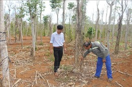 Khó khăn bủa vây người trồng tiêu Quảng Trị