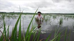Mưa lũ gây ngập lụt hơn 20 ha lúa tại Bình Phước