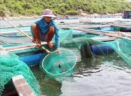 Cá nuôi lồng bè ở Ninh Thuận chết nhiều chưa rõ nguyên nhân