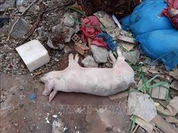 Khắc phục việc chậm hỗ trợ người chăn nuôi bị dịch tả lợn châu Phi