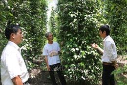 Thêm mùa 'đắng'ở 'thủ phủ'hồ tiêu Bình Phước