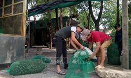 Khuyến cáo người dân không nuôi ốc bươu vàng dù thương lái thu mua