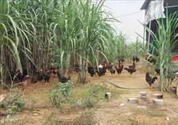 Khẩn trương lên phương án xử lý dịch cúm gia cầm H5N6