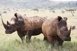 Vi khuẩn kháng thuốc đe dọa sự sống của loài tê giác châu Phi