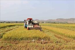 Nông dân Tây Nguyên tràn ngập niềm vui lúa được mùa, được giá