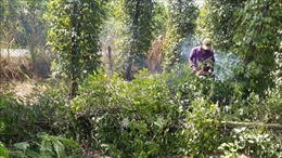 Giá hồ tiêu nhích lên nhưng người trồng vẫn khó khăn
