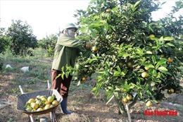 Trồng cam giúp người dân huyện miền núi giảm nghèo