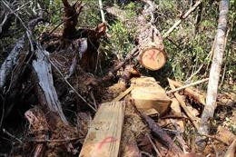 Tỉnh Đắk Lắk chỉ đạo kiểm tra, xử lý tình trạng phá rừng pơ mu sau phản ánh của TTXVN