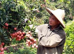Bắc Giang tiêu thụ trên 137.000 tấn vải thiều